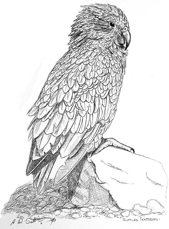 New Zealand Kea parrot artwork