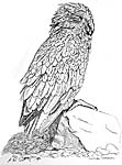 kea drawing