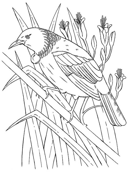 tui bird drawing for colouring