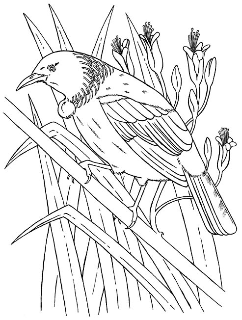 Line Drawing Of New Zealand : New zealand tui bird coloring picture