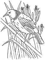 tui bird colouring picture